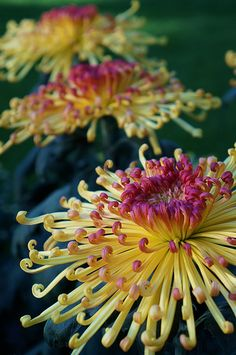 Chrysanthemum 'Lava'