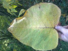 Japanese knotweed leaf