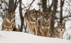 Protection of Coyotes | Coyote Lives in Maine