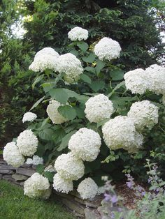 Incrediball Hydrangea - Improved version of Annabelle! I just bought three of these and I can't wait to see them bloom!