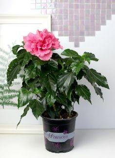 Сорт гибискуса с двойным цветком нежно-розового оттенка