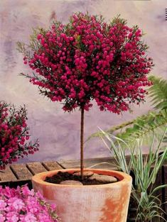 Photo Boronia sur tige Plus Flowering Trees, Trees And Shrubs, Trees To Plant, House Plant Care, House Plants, Outdoor Garden Lighting, Inside Plants, Plantation, Landscaping Plants