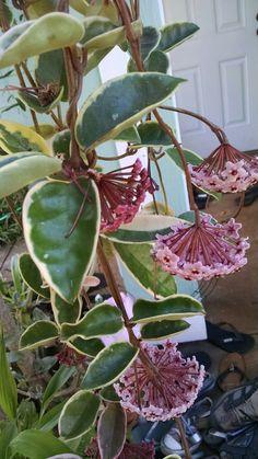 Variegated Hoya with pink flowers