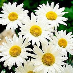 How can you not smile when you look at daisies?  They're such a happy flower :)