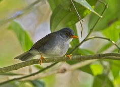 Orange-billed Nightingale Thrush (Catharus aurantiirostris) Mexico, Central to South America
