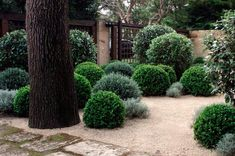 Planting and steppers in crushed limestone. silver and green topiary Formal Gardens, Outdoor Gardens, Landscape Design, Garden Design, Trellis Fence, Australian Native Garden, Topiary Garden, Garden Entrance, Gravel Garden