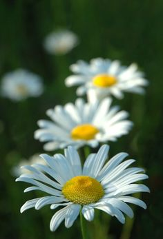 Such a happy flower! Daisies are some of my favorites.