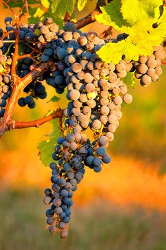 ✯ Grapes on the Vine
