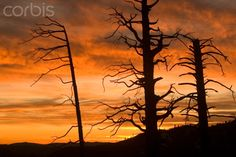 Dead trees from forest fire in Foresta area in Yosemite National Park - 42-24825140 - Rights Managed - Stock Photo - Corbis