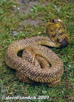 Naja haje-- Egyptian cobra.