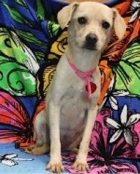 Becky is an adoptable Terrier Dog in San Rafael, CA. A little sweetheart who loves being with other dogs and people! She listens well and will be easy to train further, she is a nice size, playful and...
