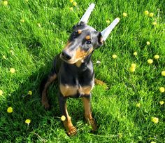 Cute Doberman Puppy <3  #doberman #pinscher #puppy