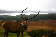 Red Deer Stag in The Scottish Highlands. I would love to go hunt one there someday.