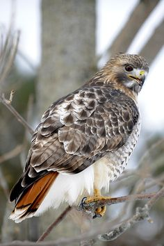 Red tail hawk | Flickr - Photo Sharing! Animal Spirit Guides, Spirit Animal, All Birds, Birds Of Prey, Pretty Birds, Beautiful Birds, Red Tail Hawk Feathers, Pale Male, Coyote Pup