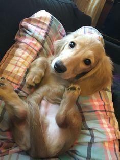 Charlie the mini dachshund #Dachshund