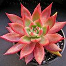 Echeveria agavoides 'Lipstick'  Perfectly formed rosettes to 20cm wide of thick pointed pale to bright green leaves edged in vivid red. Turns pink when grown in the sun. Pink/red cup-shaped flowers in summer. (Mexico). Sun/part sun.