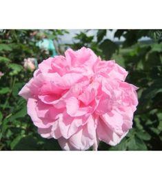 Gloire de France France, Rose, Flowers, Plants, Jewelry, Pink, Jewlery, Jewerly, Schmuck