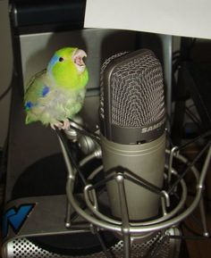 Parrotlet trying out for American Idol;)