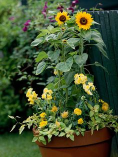 A. Dwarf sunflower (Helianthus 'Elf') -- 3 B. Snapdragon (Antirrhinum 'Yellow Chimes') -- 6 C. Celosia 'Fresh Look Yellow' -- 3 D. Marigold (Tagetes 'Janie Bright Yellow') -- 4 E. Lysimachia 'Outback Sunset' -- 3 F. Potato vine (Solanum jasminoides 'Variegata') -- 2