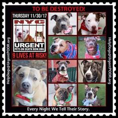 TO BE DESTROYED 11/30/17 - - Info   To rescue a Death Row Dog, Please read this:http://information.urgentpodr.org/adoption-info-and-list-of-rescues/  To view the full album, please click here:http://nycdogs.urgentpodr.org/tbd-dogs-page/ -  Click for info & Current Status: http://nycdogs.urgentpodr.org/to-be-destroyed-4915/