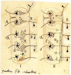 In one of his most famous drawings, currently on display at NIH, Santiago Ramon y Cajal sketched a comparison of competing ideas about the composition of the nervous system. Ramones, Alternative Artists, Brain Art, Student Life, Drawings, Nervous System, Composition, Organic, Display