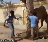 Transporte en camello, ¿creía que era otra cosa...? ~ Divertidos