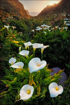 "500px / Photo ""Sunset on Calla Lilies"" by Don Smith"