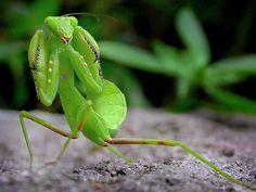 螳螂.Praying mantis by 好運將, via Flickr