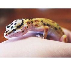 My scaly baby, Skittles. #gecko #leopardgecko
