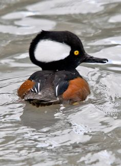 """Hooded Merganser, Lophodytes cucullatus. Merganser birds are fish-feeding ducks have serrated edges to their bills to help them grip their prey; they are therefore often known as """"sawbills"""". In addition to fish, they take a wide range of other aquatic prey, such as molluscs, crustaceans, worms, insect larvae, and amphibians; more rarely, small mammals and birds.  When not diving for food, they are usually seen swimming on the water surface, or resting on rocks in midstream."""