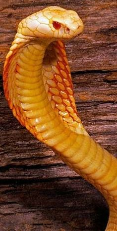 Rare Animals, Animals And Pets, All About Snakes, Colorful Snakes, Natural Born Killers, Snake Venom, Cute Snake, Cobra Snake, Snake Art