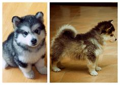 want a dog like this! ♥ Pomsky puppies!! (Pomeranian + husky crossed)