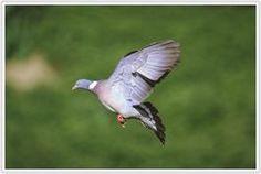 Houtduif - Wood Pigeon 38 - 43 cm #metgeluid