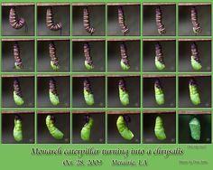 Butterfly Party, Monarch Butterfly, Monarch Caterpillar, Butterfly Pictures, Gardening For Beginners, Creative Art, Outdoor Gardens, Garden Design, Photo Galleries