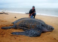 Reuze schildpad, giant turtle on Galibi Beach, Surinam