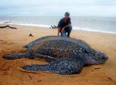 Reuze schildpad, giant turtle on Galibi Beach, Surinam
