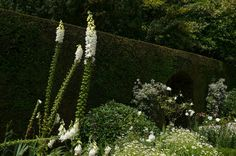 White flowers on a yew hedge background