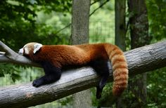 My mom shot this awesome photo when she was at Binder Park Zoo. I still love going there even though I'm older. Red Panda by IngeRush.