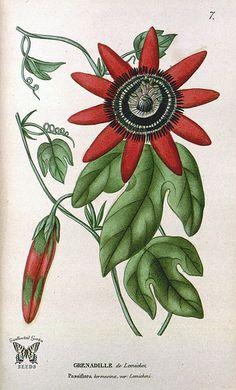 Passiflora kermesina var. lemichezi. Annales de flore et de pomone; ou journal des jardins et des champs, ser. 2, vol. 3 (1817)