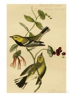 Black Throated Green Wood Warbler Premium Poster