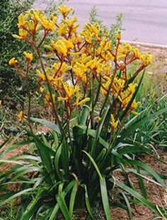 'Gold Velvet' kangaroo paw, Anigozanthos hybrid (photo via landscapegardeningplants.com).