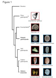 Image result for shell pattern evolution