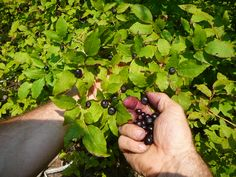Huckleberry Picking!