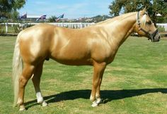 Flashy palomino quarter horse stallion, Golden Magic. He's a good example of the short, stocky type used in reining and cutting, not racing or equestrian sport.
