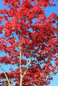Red maples, England