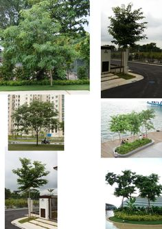 Dalbergia latifolia - 阔叶黄檀-moderate water Sun Plants, Sidewalk, Plants Sunny, Outdoor Plants, Sidewalks, Pavement, Walkways