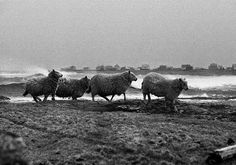 Sheep in storm on the island of Røst.