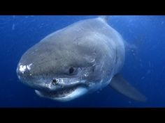 Shark Week lessons for classrooms from Discovery Education!