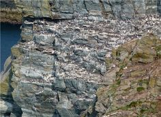 RSPB South Stack, Anglesey seabird colony