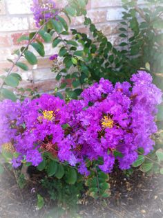 46 best blue purple pink white flower power images on purple crepe myrtle mightylinksfo